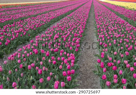 Tulip field in Northern Holland - stock photo