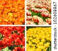 Tulip fields collage - stock photo