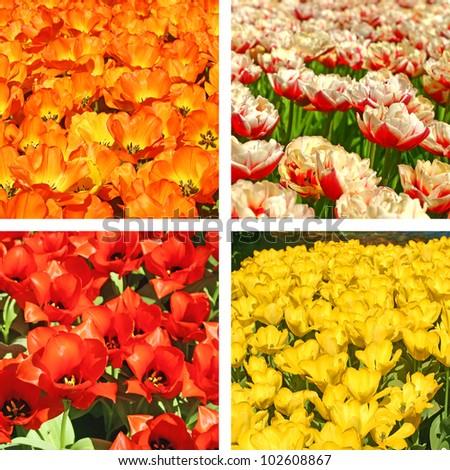 Tulip fields collage - stock photo