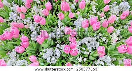 tulip flower field details in spring time - stock photo