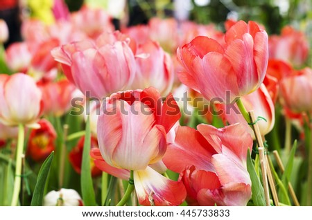Tulip flower red and pink is blooming in the new season in Rayong, Thailand. - stock photo
