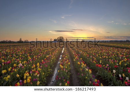 Tulip Flowers Blooming in Spring Season at Tulip Field at Sunset - stock photo