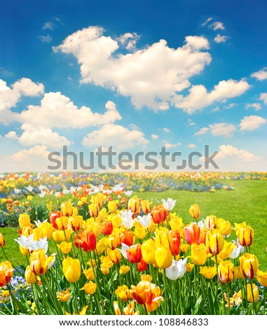 tulip flowers field over cloudy blue sky - stock photo