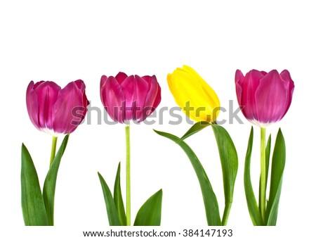 Tulip flowers isolated on white background - stock photo