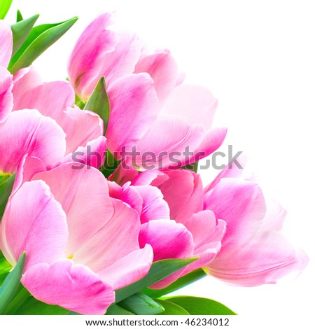 tulip flowers. Isolated over white background - stock photo