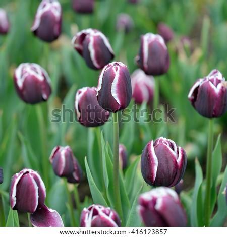 Tulip Fontainebleau - stock photo