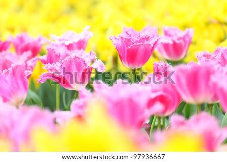 tulip in flower field - stock photo