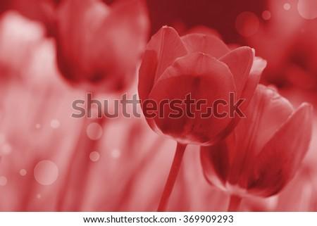 tulip in the field - stock photo