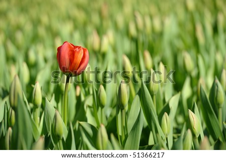 Tulip is standing out from the crowd. - stock photo