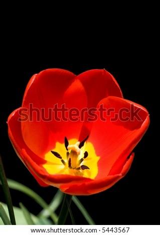 Tulip isolated on black - stock photo