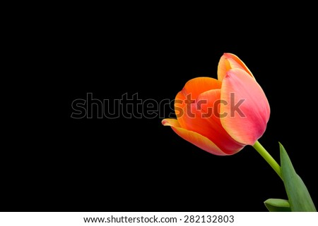 Tulip isolated on black background with copy space - stock photo