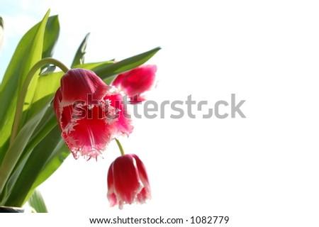 Tulip on white background - stock photo