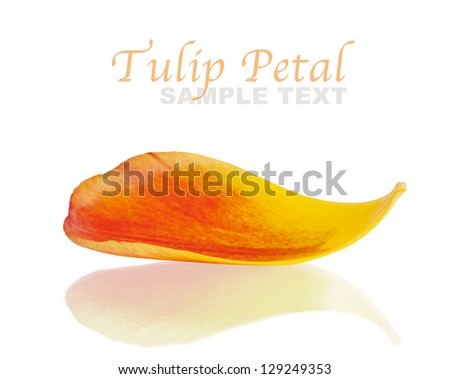 Tulip petal with reflection against white background - stock photo