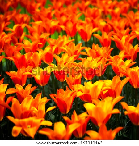 Tulip red yellow flowers garden in spring background, pattern or texture - stock photo