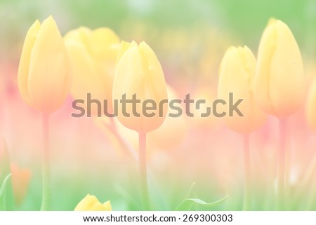 Tulip sweet soft pastel color background - stock photo