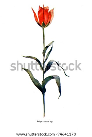 """Tulipa Lanata Rgl - an illustration from the book """"Species of flowers bulbes of the Soviet Union"""", Moscow, 1935 - stock photo"""