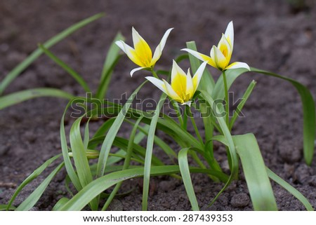 Tulipa tarda - yellow tulip flowers growing in the flowerbed - stock photo