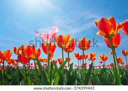 Tulips and sky background. Composition of nature. - stock photo