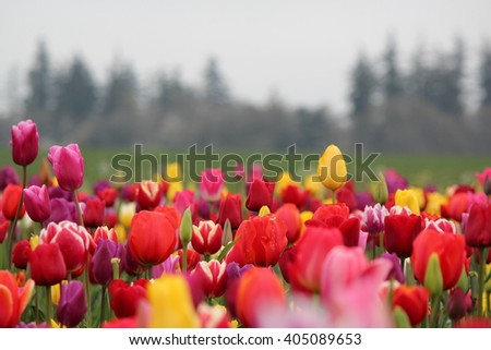 Tulips at the Wooden Shoe Tulip Farm in Woodburn, Oregon - stock photo