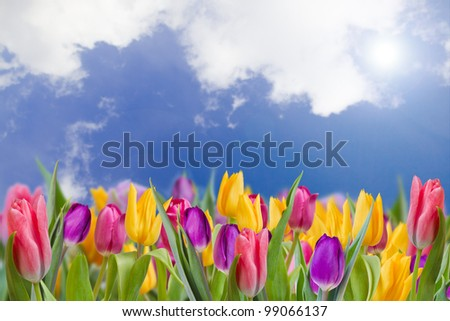 Tulips - beautiful spring flowers - stock photo