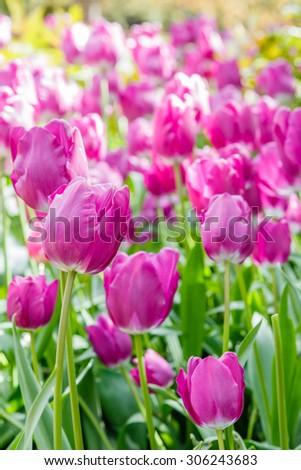 Tulips field - stock photo