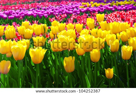 Tulips field yellow flower background. - stock photo