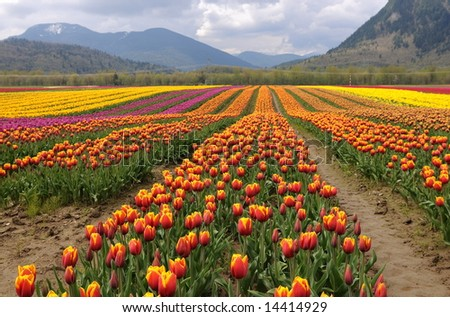 Tulips filed by by Cheam Mountain, Agassiz, BC, Canada - stock photo