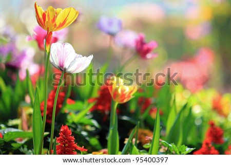 Tulips garden - stock photo