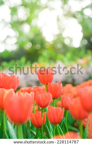 Tulips growing in garden on green bokeh background, yellow light with fog - stock photo