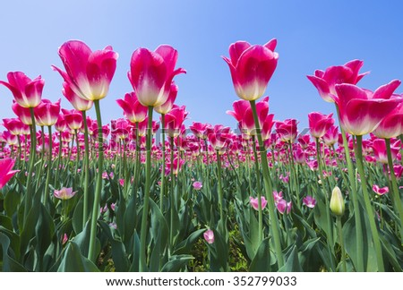 Tulips in a field in spring in suoth korea - stock photo