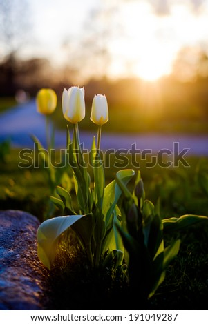 Tulips in drastic sunset - stock photo