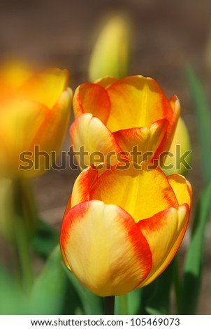 Tulips in spring in Montreal's botanical garden. Quebec, Canada - stock photo