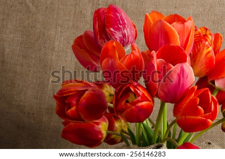 Tulips in the pot on  sacking background - stock photo