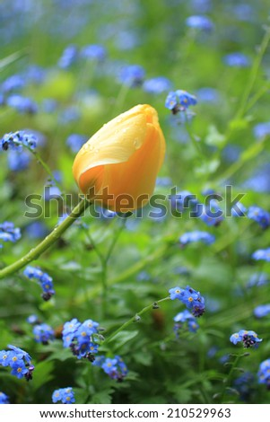 Tulips in the spring garden close up - stock photo