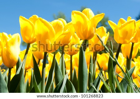 Tulips in the sunlight - stock photo