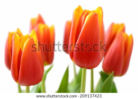 tulips isolated on white background - stock photo