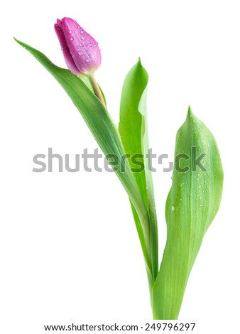 tulips isolated on white background - stock photo