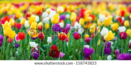 Tulips of all colors; focus in front - stock photo