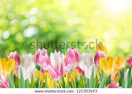 Tulips on a blur background of nature. - stock photo