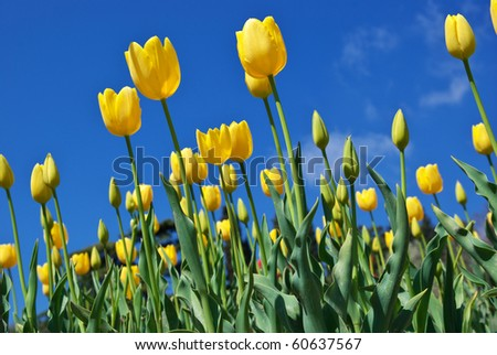 Tulips on sky background. Nature composition. - stock photo