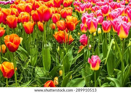 tulips park Keukenhof, Holland, Netherlands, flower garden - stock photo