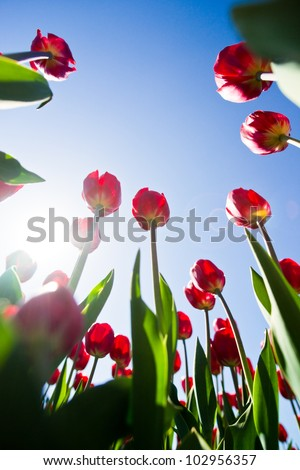 Tulips shot from below against blue sky. - stock photo