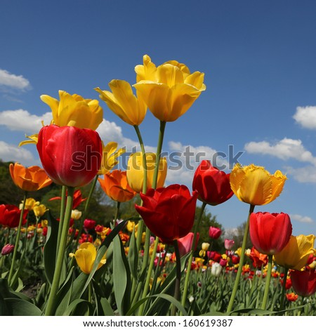 tulips - square background - stock photo
