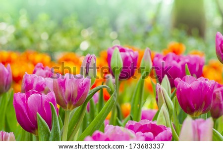 tulips with nature background - stock photo