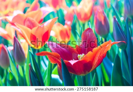 Tulips with soft focus in the garden.  Red turkish tulips with bokeh effect. Bright spring flowers are blossom, red and green colors. - stock photo