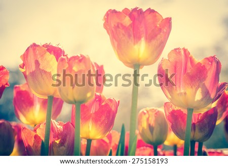 Tulips with soft focus in the garden.  Tulips with bokeh effect, toned with vintage instagram filter effect. Spring flowers of retro style. - stock photo