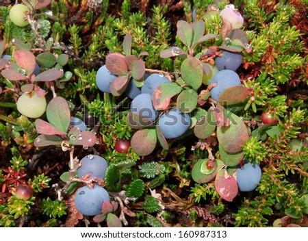 Tundra blueberry, Alaska - stock photo