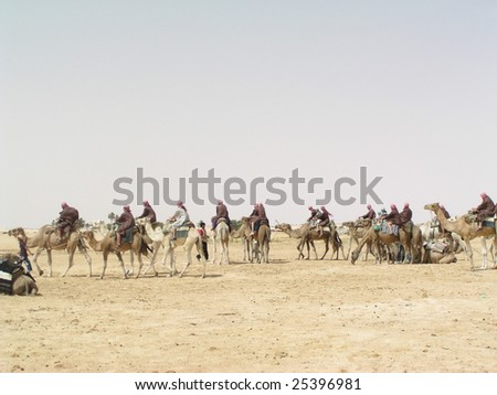 tunisian camels - stock photo