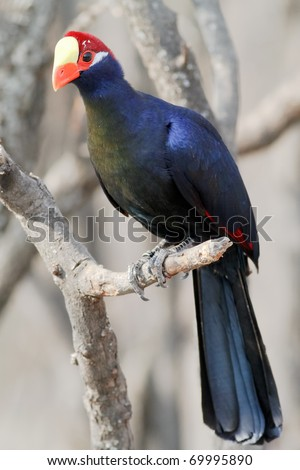 Turaco bird from West Africa - stock photo