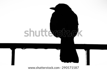 Turdus merula, black and white silhouette - stock photo